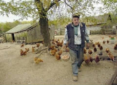 oldmanchickens.jpg.w240h174